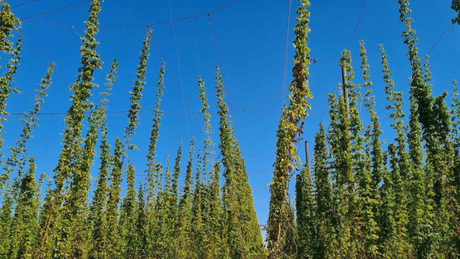 Hier wächst das Bier