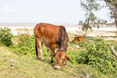 Aber Kühe am Strand haben wir vorher auch noch nicht gesehen.