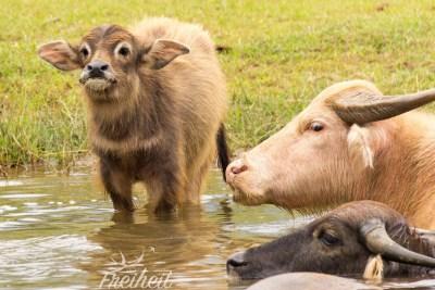 Junger Wasserbüffel