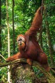 Noch eine Spur beeindruckender ist das männliche Orang Utan