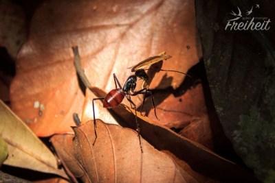 Ameisen fast so groß wie Nadines kleiner Finger