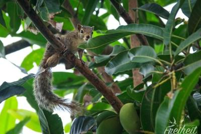 Streifenhörnchen im Mangobaum