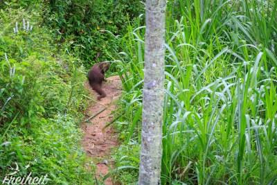 Ein rotbrauner Mungo - ein Raubtier, dass tagaktiv ist und oft in Sri Lanka vorkommt.