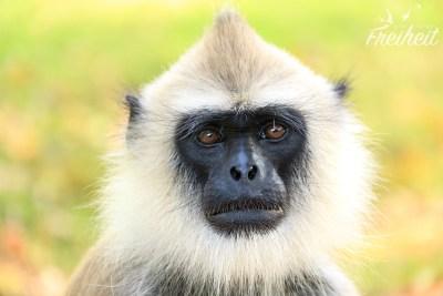 Südlicher Hanuman Langur