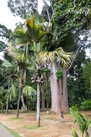 Die Seychellenpalme schlägt mehrere Rekorde - seltenste Palme, schwerste Samen aller Pflanzen und getrennt geschlechtliche Bäume