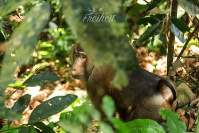 Pig-tailed Monkey - benannt nach dem Ringelschwänzchen