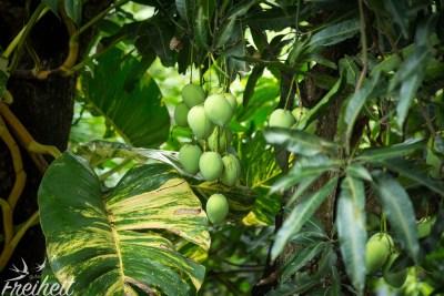 Direkt am Balkon ein Mangobaum