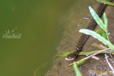 Eine Schlange auf Beutezug im Wasser