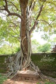 Eine Würgefeige übernimmt einen anderen Baum - irgendwie gruselig