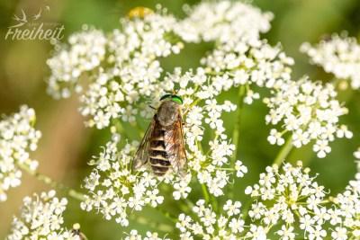Biene und Wespe ist es nicht, wir tippen auf die Gemeine Viehbremse