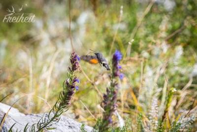 Taubenschwänzchen oder auch Kolibrischwärmer genannt, da das Flugverhalten dieses Schmetterlings dem eines Kolibris ähnelt