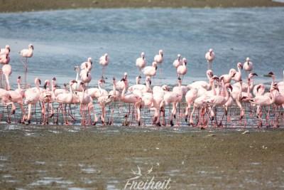 Flamingos an der Küste bei Walvis