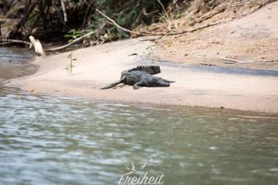 Zum Glück sind die Krokodile auf der anderen Uferseite und können auf unserer Seite nicht an Land (steilere Böschung)