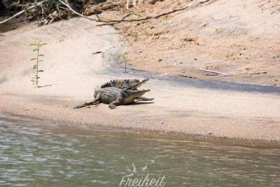 Ungelogen: das Krokodil konnten wir direkt von unserem Stellplatz aus beobachten