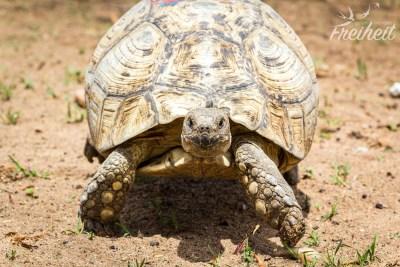 Große, alte Landschildkröte