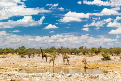 Giraffen am Wasserloch