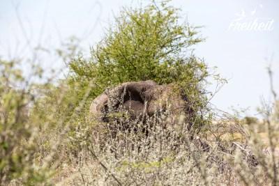 Elefanten können trotz ihrer Größe hinter Bäumen und Gebüsch ganz schön untergehen...