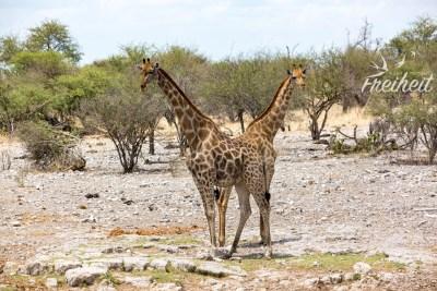 Verschmelzende Giraffen :)