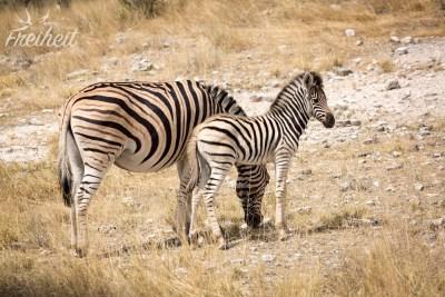 Zebrababy