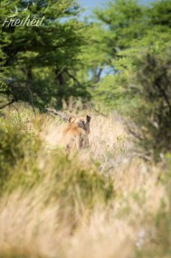 Löwin - erste Sichtung der Großkatze