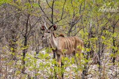 Junger Kudu