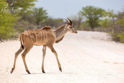 Sehr junger Kudu