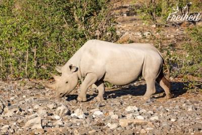Nashorn Weibchen