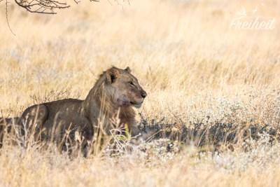 Dritte Löwensichtung
