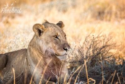 Mähnenloser Löwe
