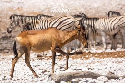 Südafrikanische Kuhantilope