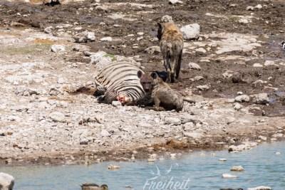 Hyänen und ihre blutigen Gesichter