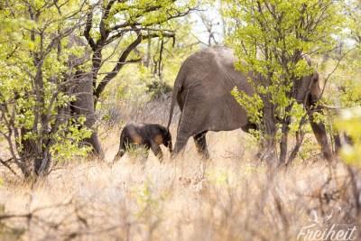 Elefantendame mit Minibaby