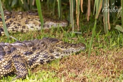 Krokodile in einem Mini Gehege gibt es hier auch