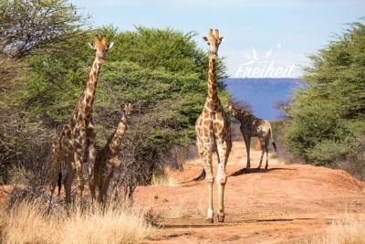 Giraffenfamilie auf Fußsafari