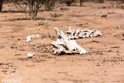 Skelett einer Giraffe (natürlicher Tod)