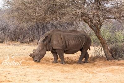 Dieses Nashorn zieht sich in den Schatten zurück