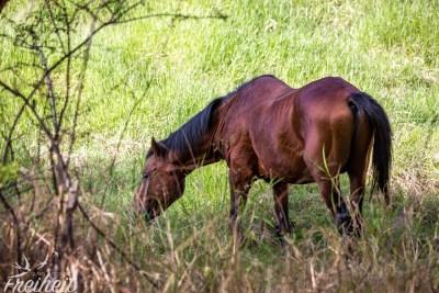 Ausgewilderte Pferde