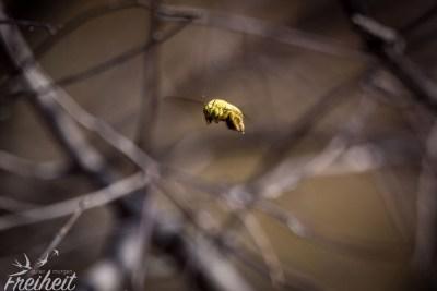 Biene im Flug - und das in scharf! :D