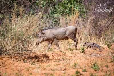 Warzenschwein mit mini Nachwuchs