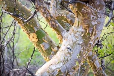 Dieser Baum pellt sich wie ein Mensch nach einem heftigen Sonnenbrand :-P