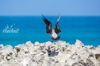 Dominikaner Möwe bei der Landung