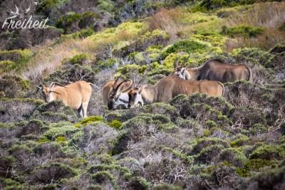 Größte Antilopenart: Elenantilope