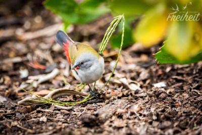 Dieser Prachtfink hört auf den Namen Grünastrild