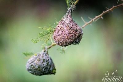 Tolle Nester von Webervögeln