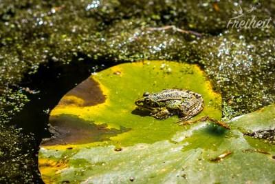 Kleiner Teich voll Fröschen