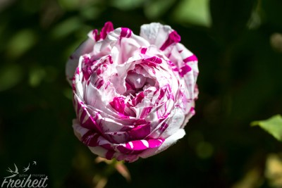 So eine hübsch gemusterte Rose