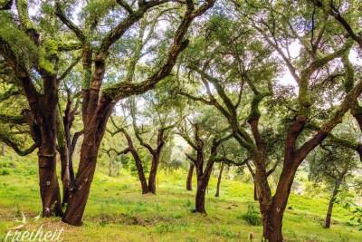 Wunderschöner Korkeichenwald