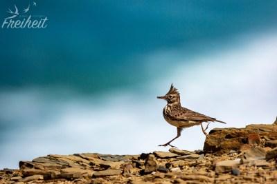 Man beachte die unglaublich lange Hinterkralle von diesem flinken Vogel!