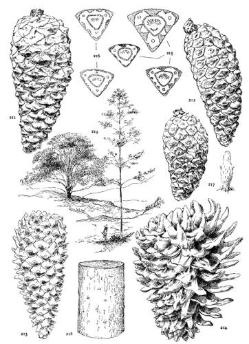 The Project Gutenberg eBook of The Genus Pinus, by George
