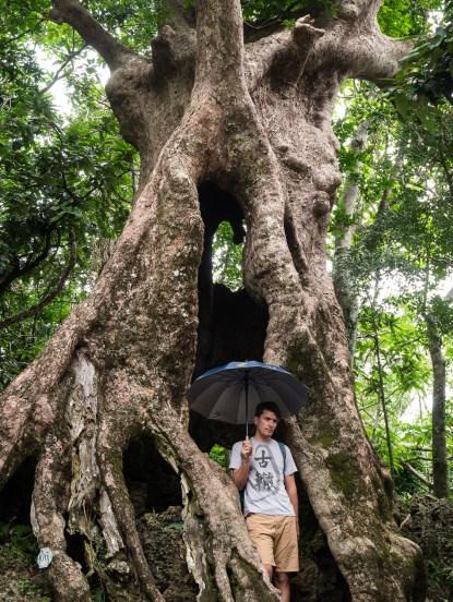 Banyan Baum.